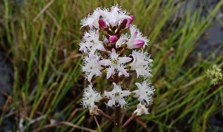Menyanthes trifoliata (L., 1753)