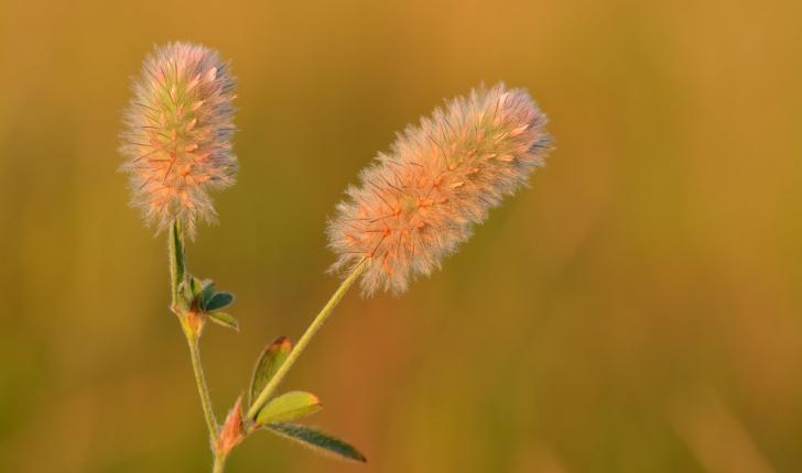 Trifolium arvense L.
