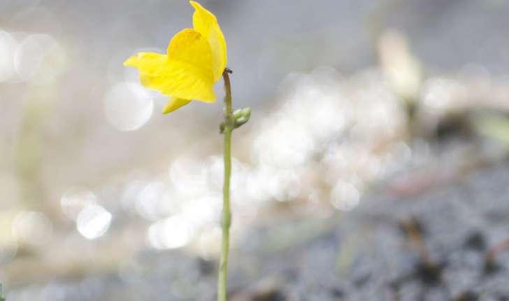 Utricularia ssp (R.Br., 1810)