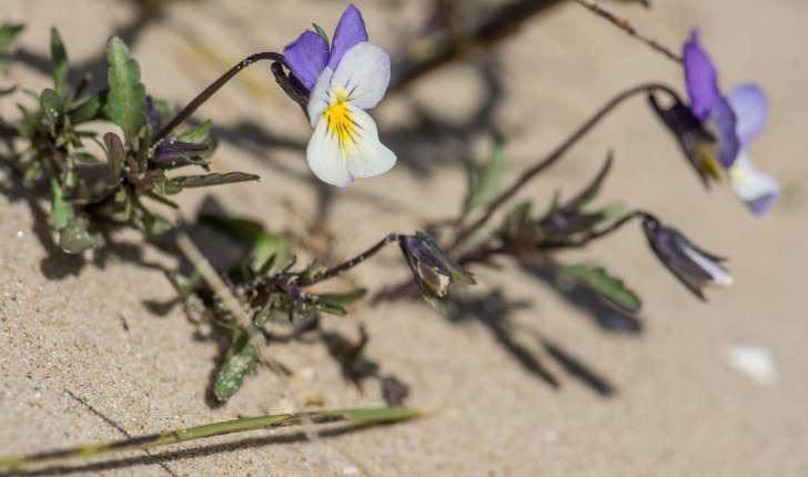 Viola saxatilis subsp. curtisii (E.Forst.)