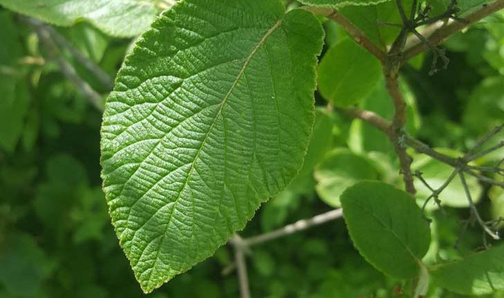 Viburnum lantana