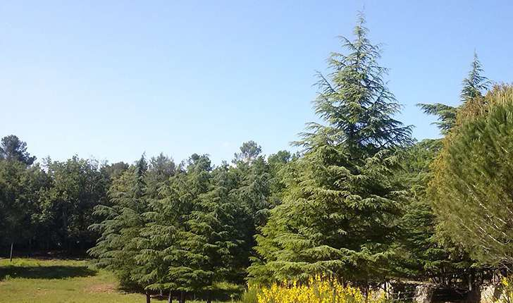 Forêt de Cèdre (Crédits: Parc d'Aoubré)
