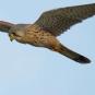 Faucon crécerelle observable sur la balade (Crédits Photos: Bernard  Stam - Flickr)