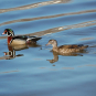 Couple de Canards branchus. Crédits : Saint-Pierre-et-Miquelon