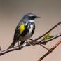 Paruline à croupion jaune. Crédits : Saint-Pierre-et-Miquelon