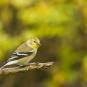 Chardonneret jaune, plumage d'automne. Crédits : Frédéric Allen-Mahé