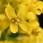 Fleur de barbarée commune. Crédit : Frank Mayfield, Flickr