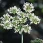 Berce Commune-Heracleum Sphondylium (crédit: Quessoy)