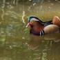 Canard-Mandarin---crédit-Ihagee86