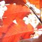 Chêne rouge d'amérique (crédit: jadwina)