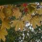Erable plane, feuilles (Crédits : Olive Titus)