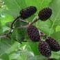 Fruits de l'Aulne de Corse (Crédit : Olive Titus)
