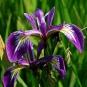 Iris fétide. Crédit : Chrispd1975 - Flickr