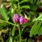 Gesse à feuilles de lin. Crédit : John Brandauer - Flickr
