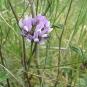 Psolarea bituminasa (crédit: Jeantosti)