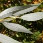 Dessous de feuilles de saule fragile. Crédits : Matt Lavin - Flickr