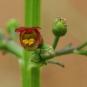 Scrofulaire-aquatique-Scrofulaire-à-oreillettes crédit-José-María-Escolano-Flickr