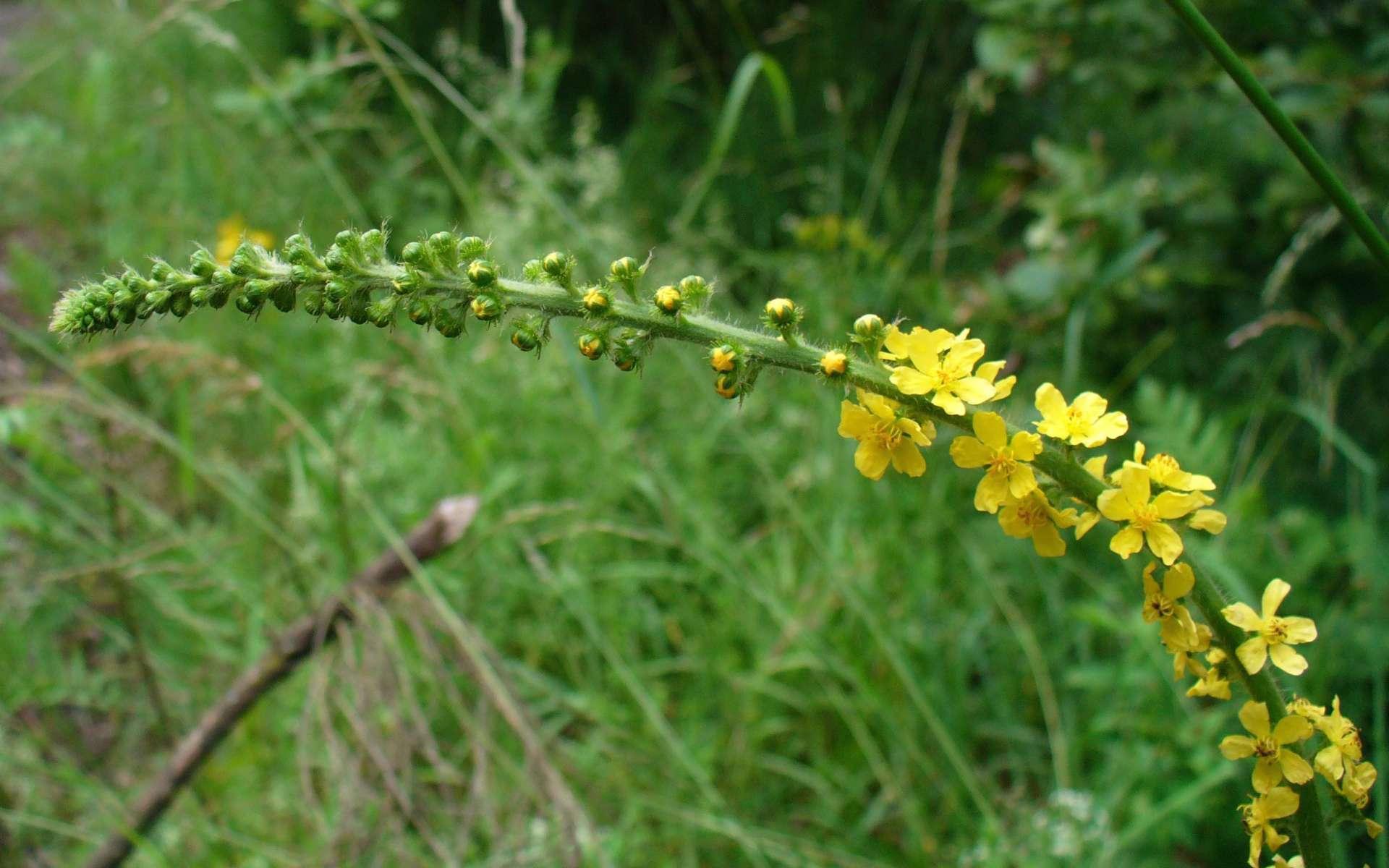 Aigremoine eupatoire - épi de fleurs (Crédits : Sven Gaedtke)