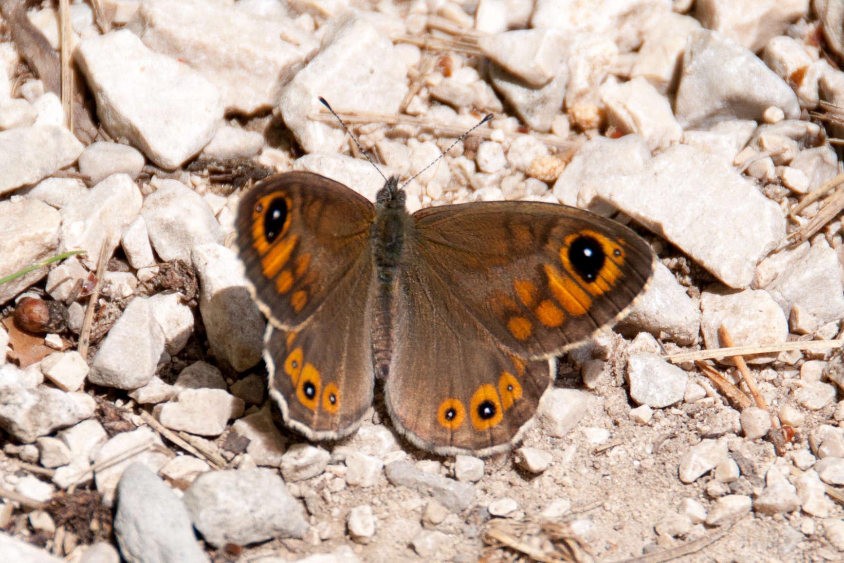 Lasiommata maera ♂ @Paul Asman and Jill Lenoble - Flickr
