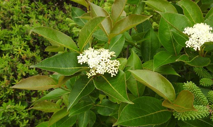 viorne cassinoide viburnum nudum crédit: CTSPM
