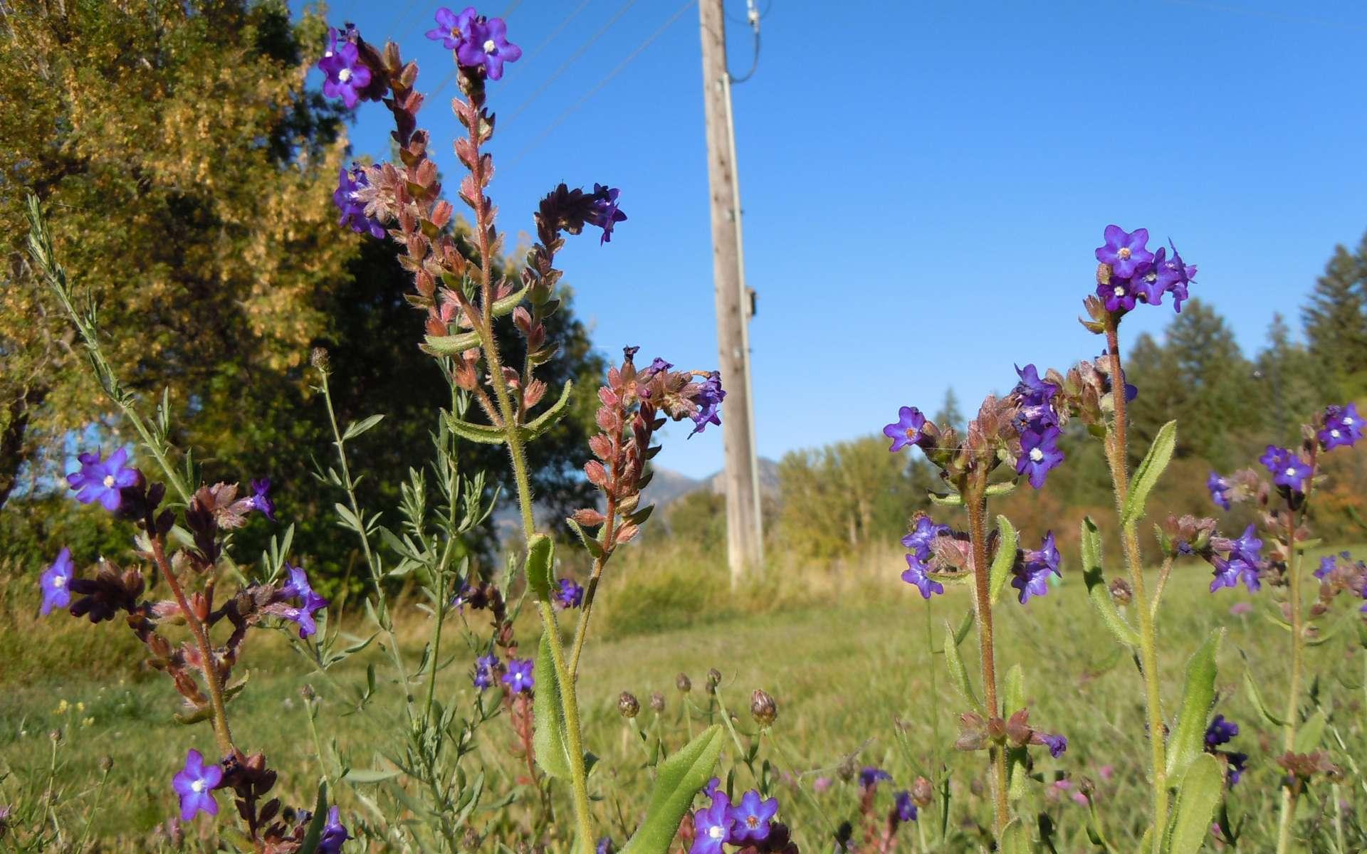 Buglosse officinale - fleurs (Crédits : Matt Lavin)