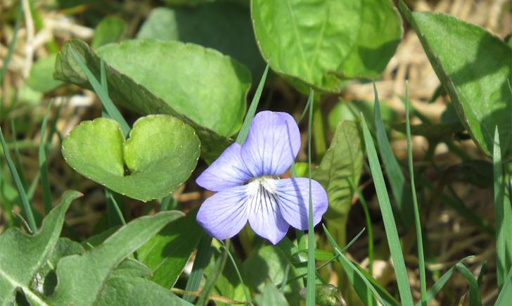 Violette cucullée (Crédits : CTSPM)