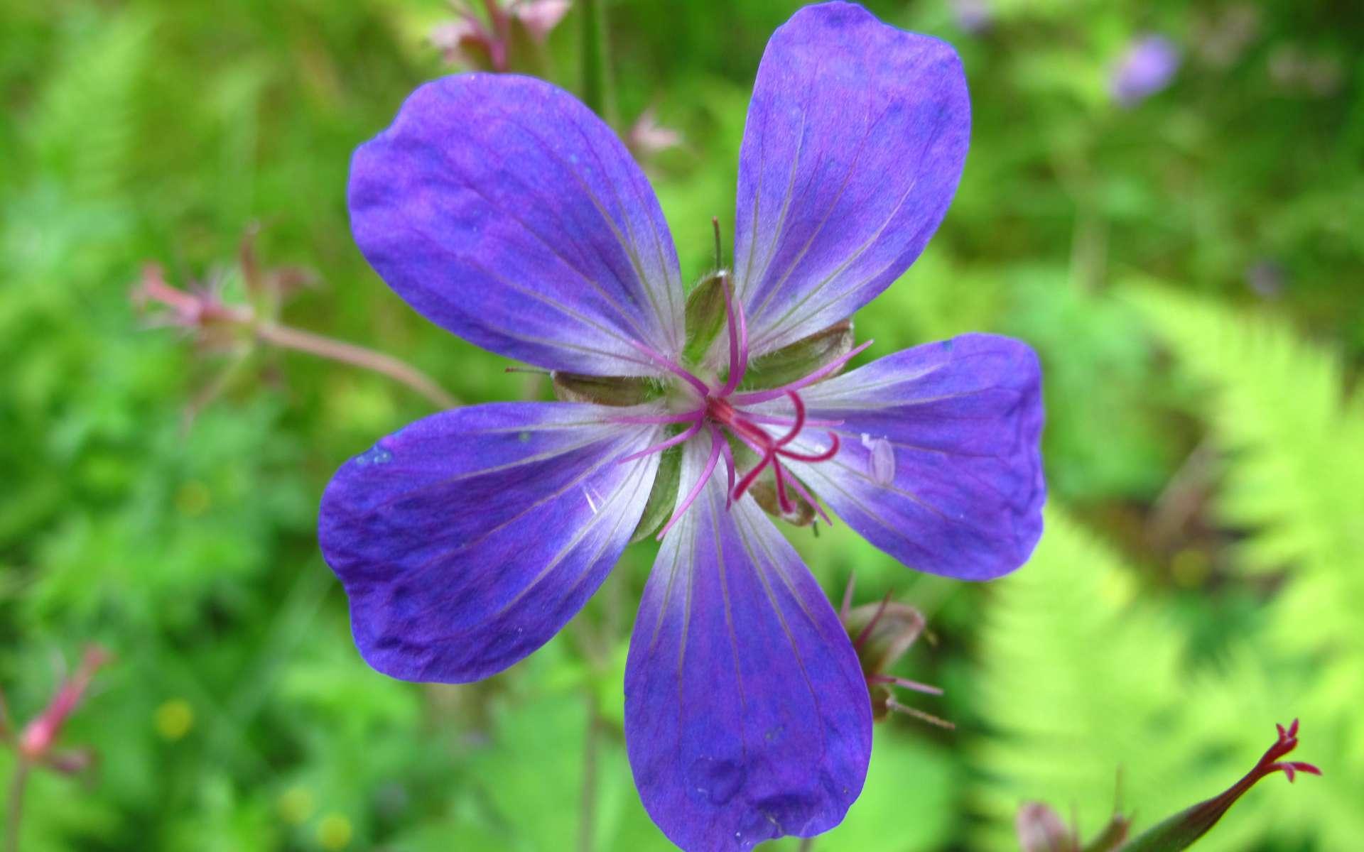 Géranium des bois - fleur (Crédits : Ole Husby)