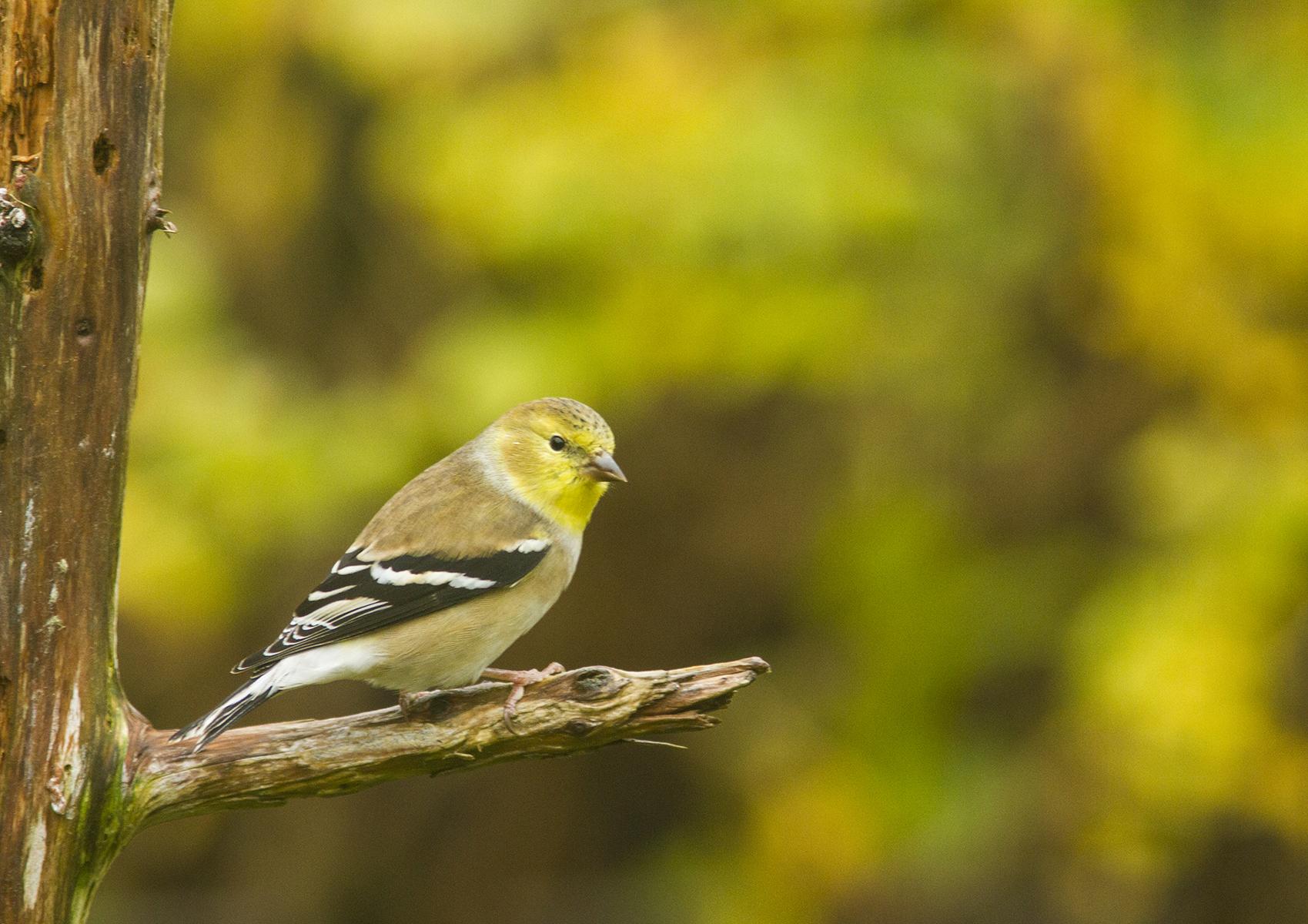Chardonneret jaune, plumage d