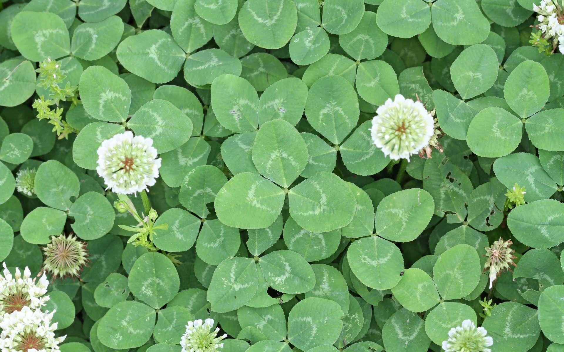 Trèfle blanc - feuilles et fleurs (Crédits : John Flannery)