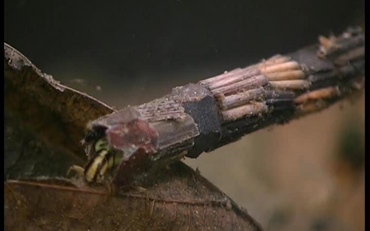 Les larves de phryganes se fabriquent un étui en débris pour se protéger. Crédits : Saint-Pierre-et-Miquelon