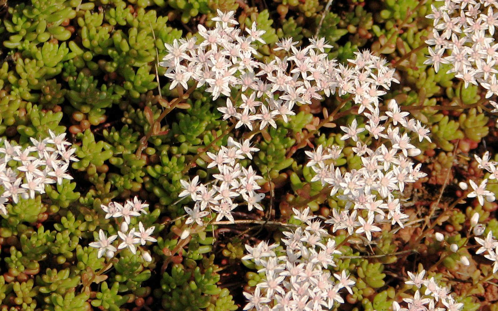 Orpin blanc - fleurs et feuilles (Crédits : Oona Raisanen)