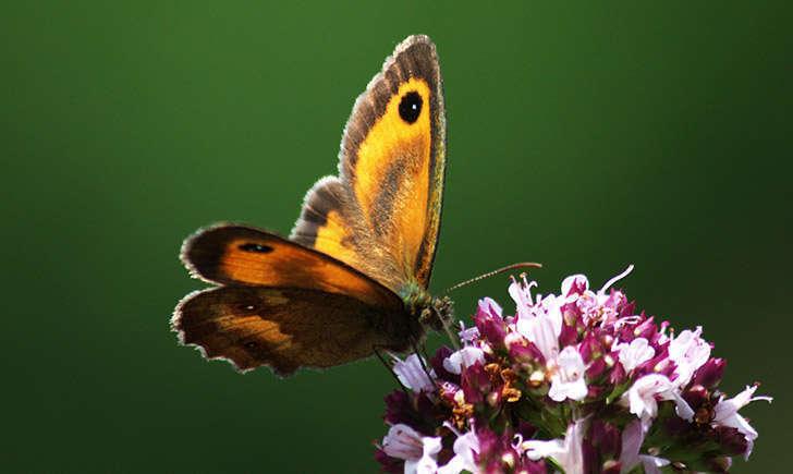 Amaryllis (crédit: JR-Guillaumin - Flickr)