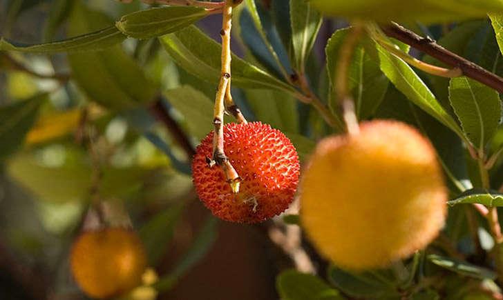 Fruit de l'arbousier (Crédits : lvf8 - Flickr)