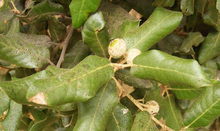 Chêne-vert