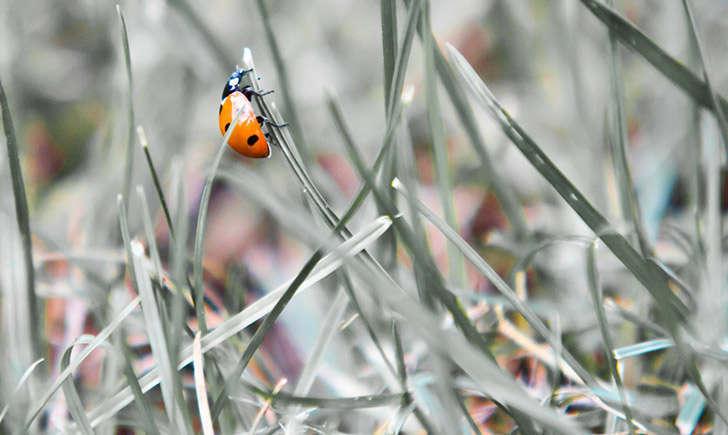 Coccinelle (crédit: grl_schuss - Flickr)