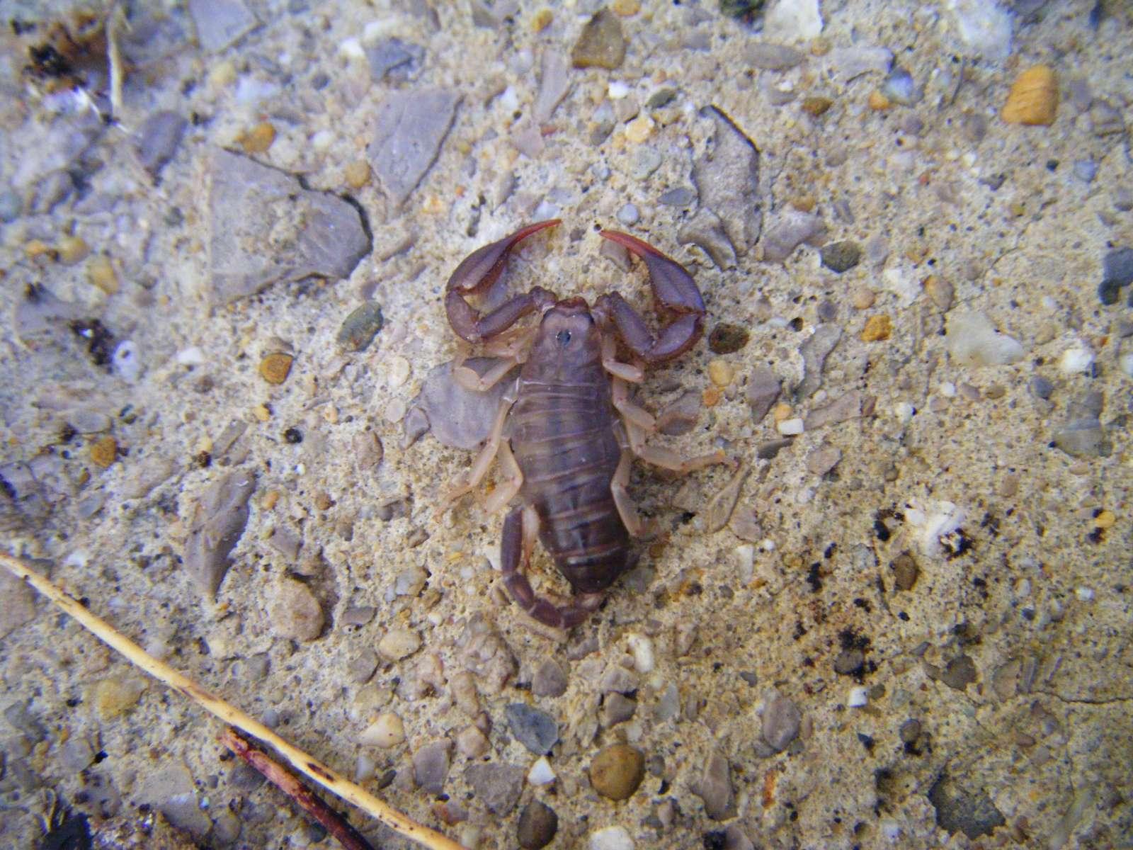 Scorpion à pattes jaunes