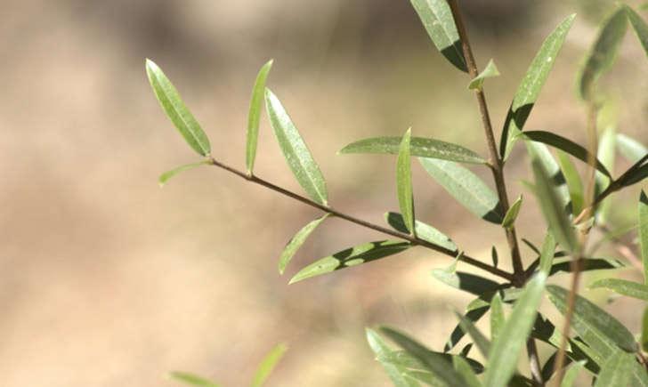 Filaire à feuilles étroites (Crédits : jpm - Tela Botanica)