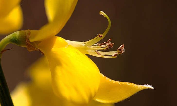 Spartier à tiges de jonc - fleur (Crédits : Jame LAGARRIGUE- Tela Botanica)