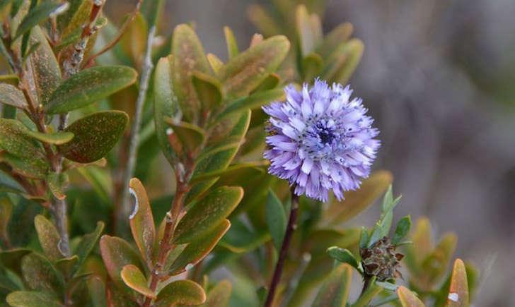 Globulaire buissonante (crédit: Daniel.MATHIEU - Tela Botanica)