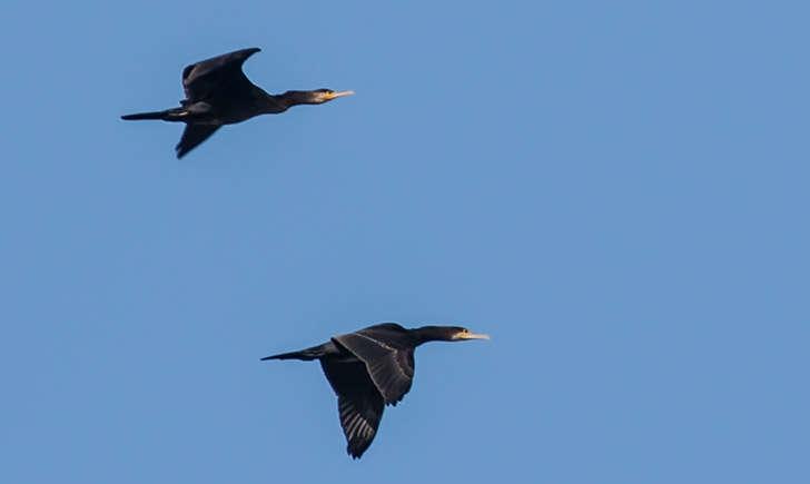 Grand cormoran en vol (crédit: Remi Rufer - Flickr)