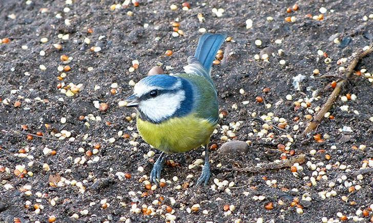 Mésange bleue (Crédits : notts-exminer - Flickr)