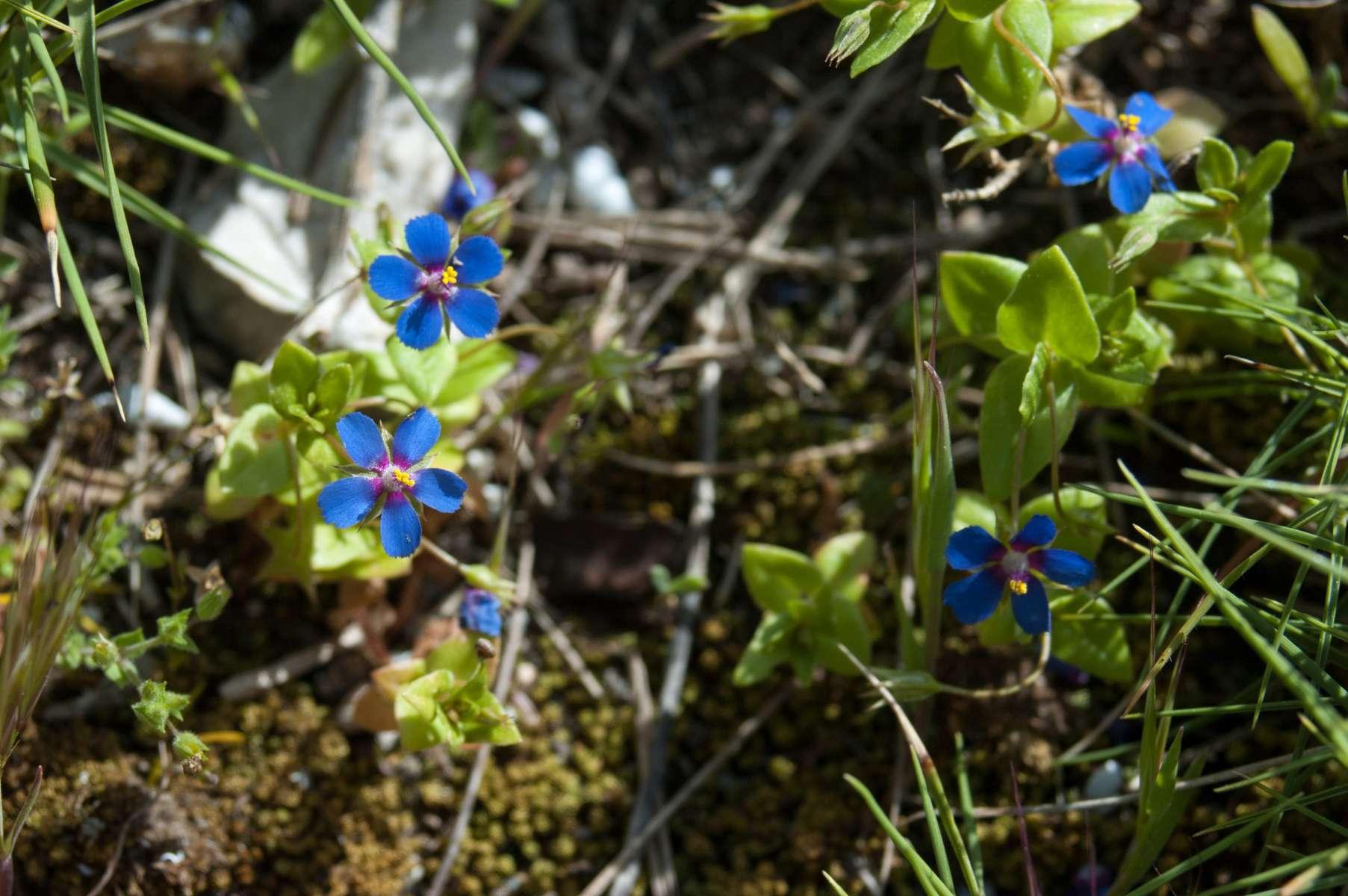 Mouron bleu  (Crédits : Julien Bonnaud - Natural Solutions)