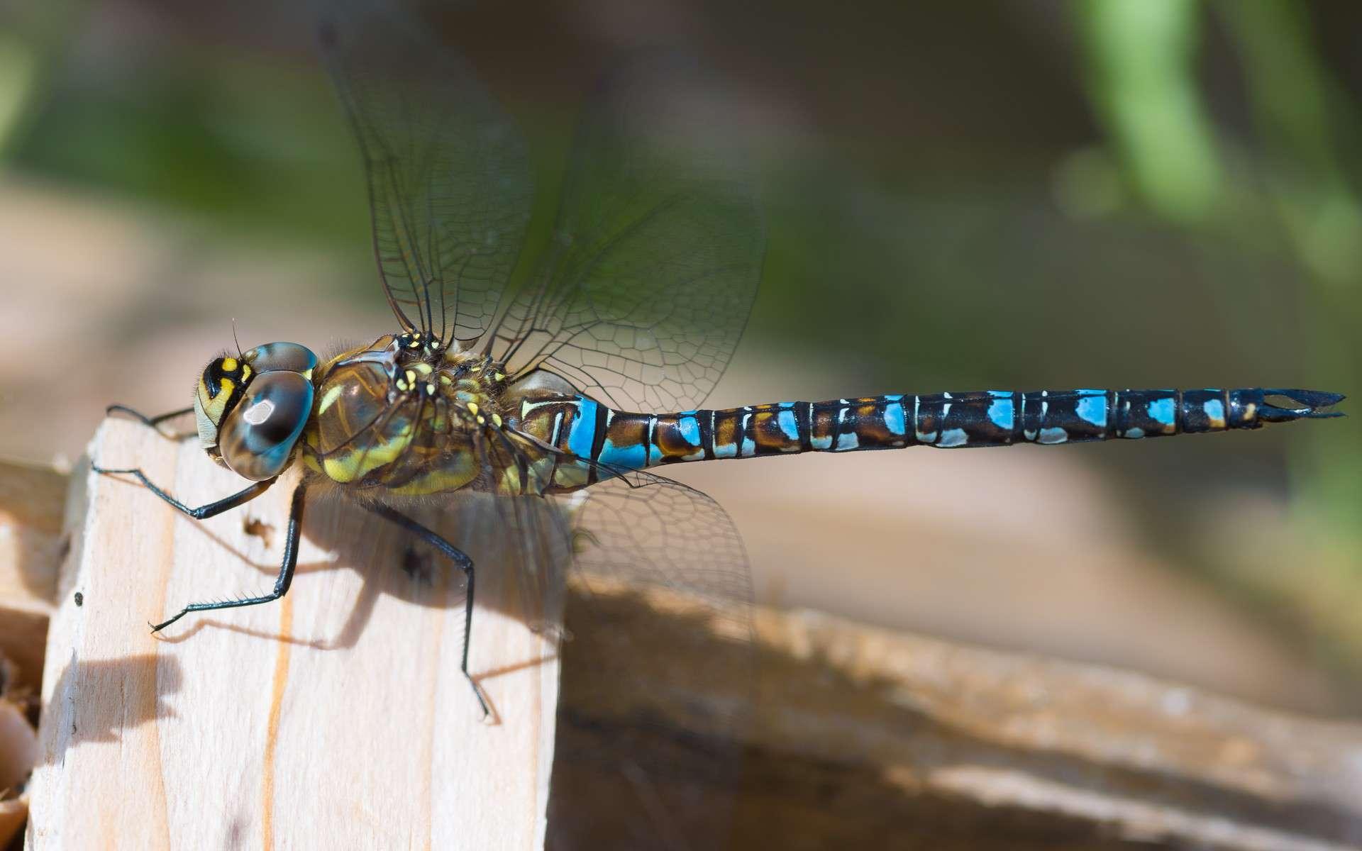 Aeschne bleue - Crédit : Johan Wieland