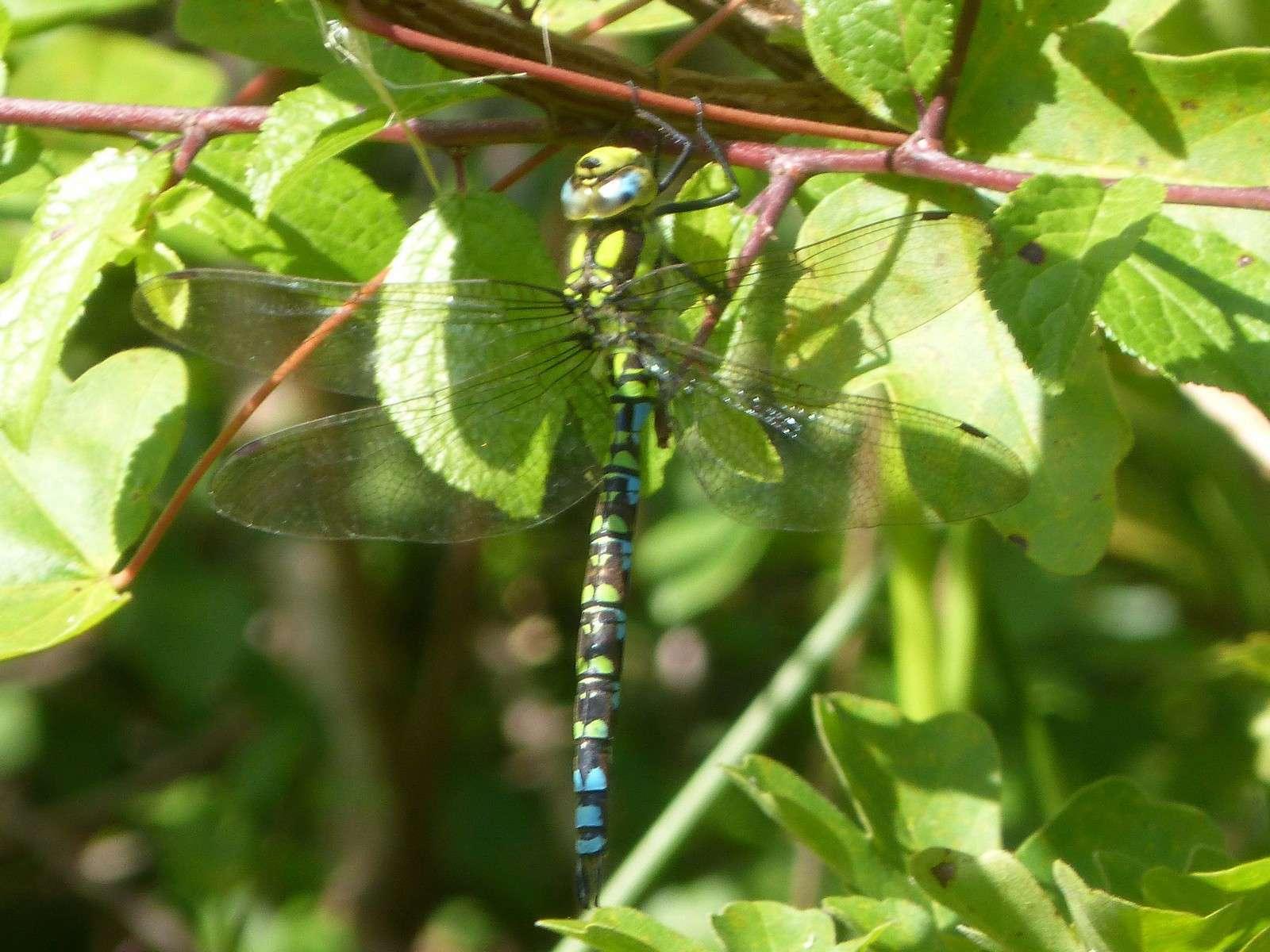 Aeschne bleue - Crédit : gailhampshire
