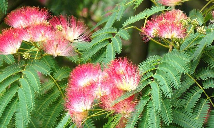 Albizia, boutons, fleurs et feuilles (Crédits : NaturServe)