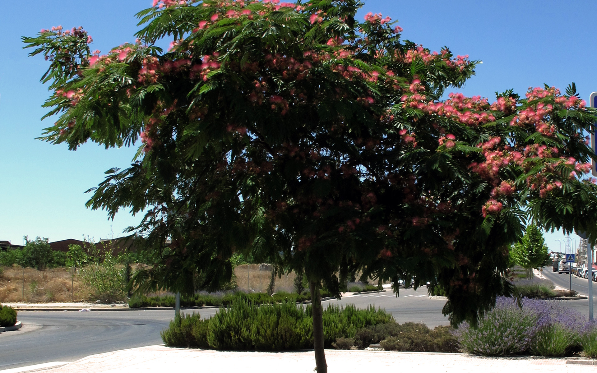 Albizia, arbre dans son ensemble (Crédits : Jacinta Iluch valero)