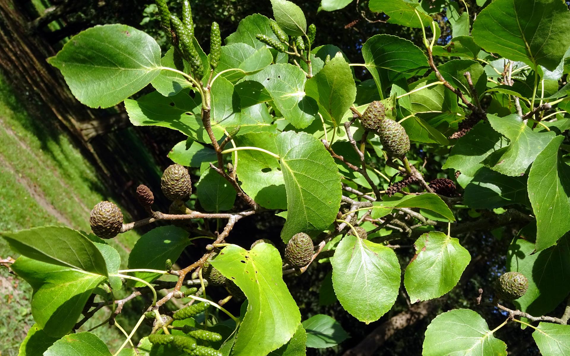 Inflorescences femelles, mâles et fruits de l'Aulne de Corse (Crédit : Olive Titus)