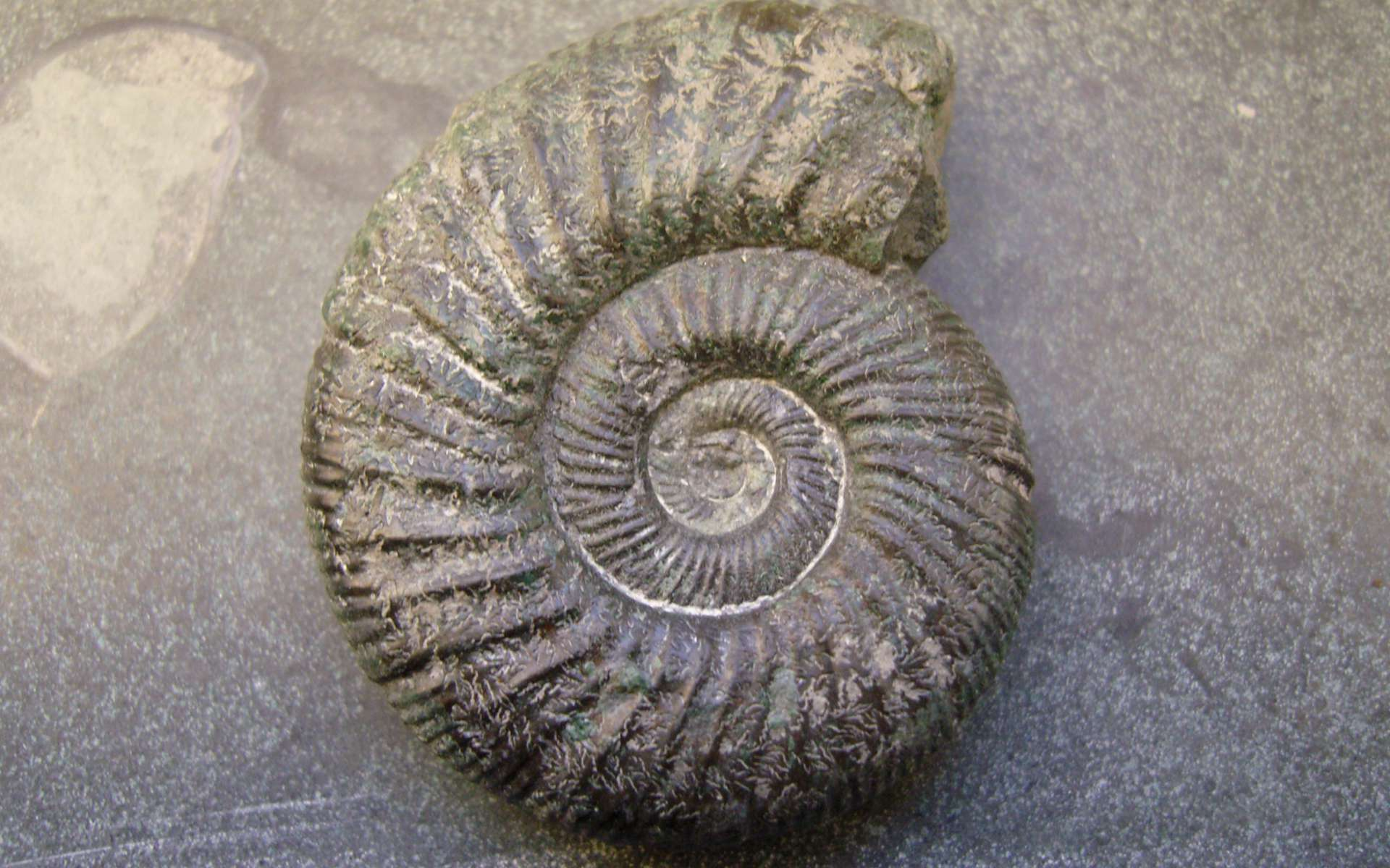 Ammonite (Crédits : Gorissen.M - Flickr)