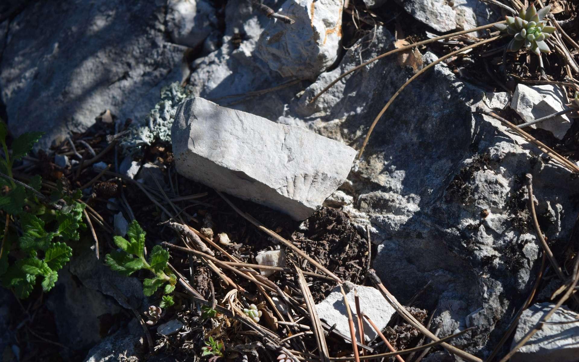 Ammonite - balade des Gorges du Riou (Crédits : Sabine Meneut)