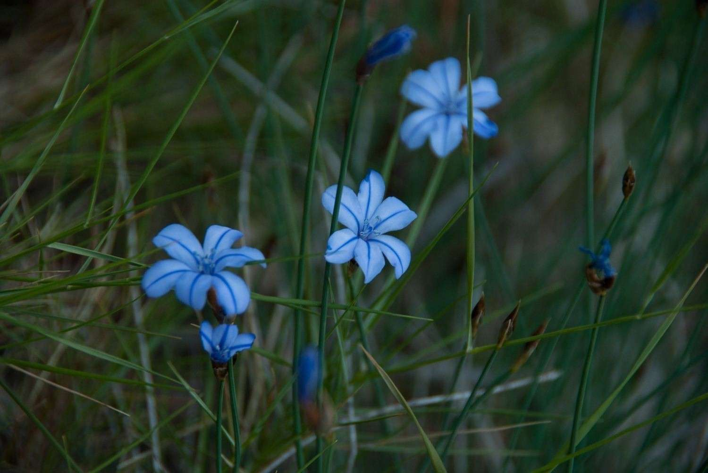 Aphyllantes de Montpellier (Crédits Cédric Seguin)